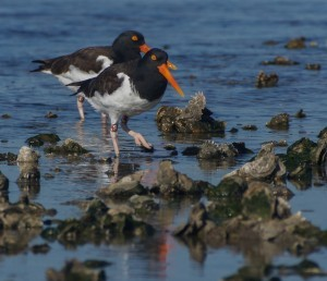 American Oystercatcher (photo © Alan Wilde)