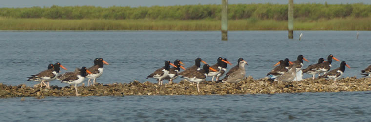 american-oystercatchers