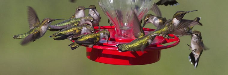 ruby-throated-hummingbirds