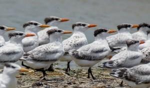 terns on Jigsaw