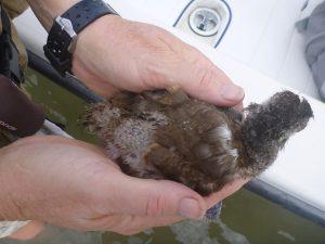 UWGalB238 chick body