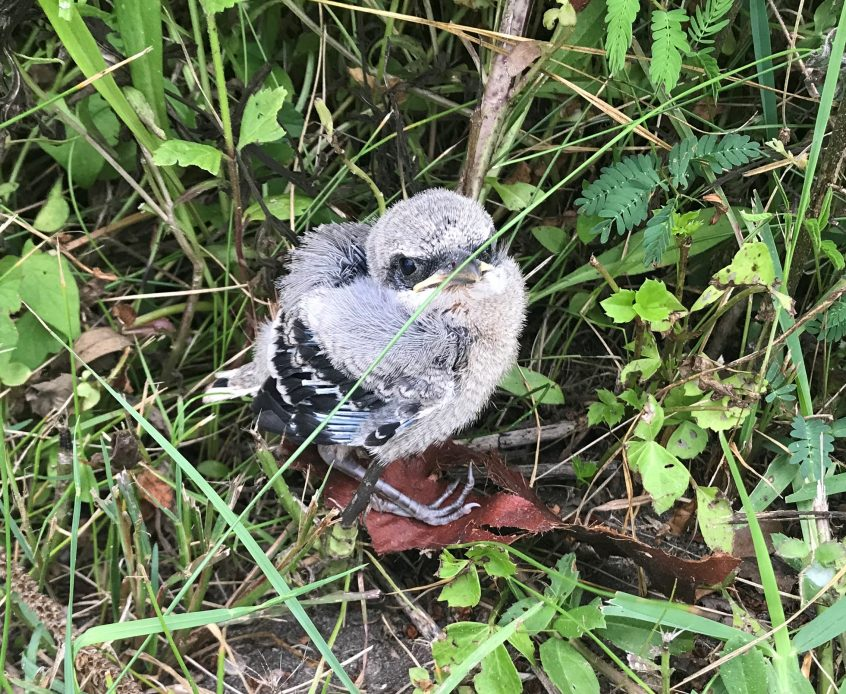baby Northern Shrike