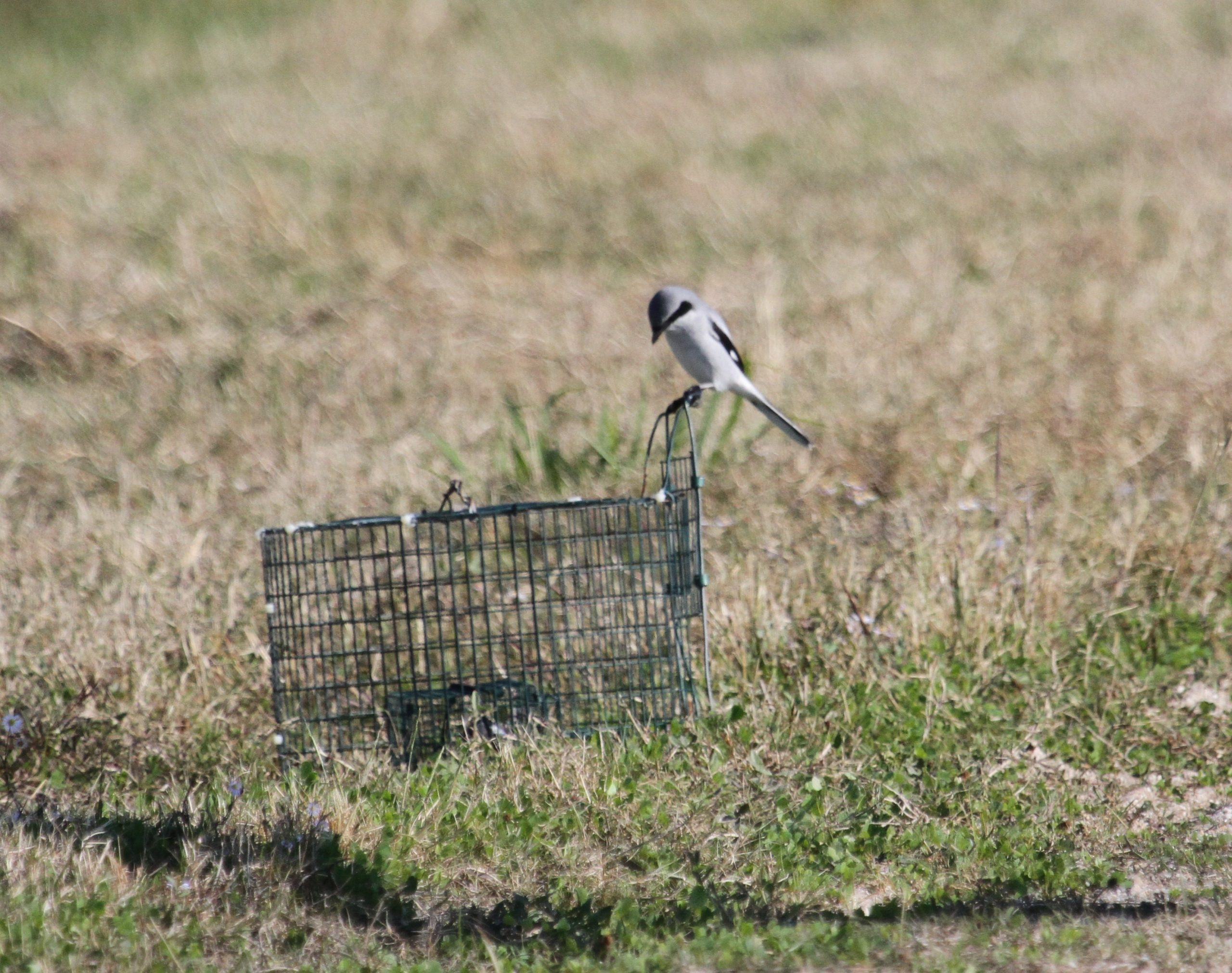A Loggerhead Shrike on the trap (photo by Susan Heath)
